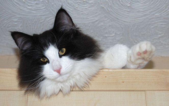 Alvenkatt Startrooper Black White Male Forest Cat Norwegian