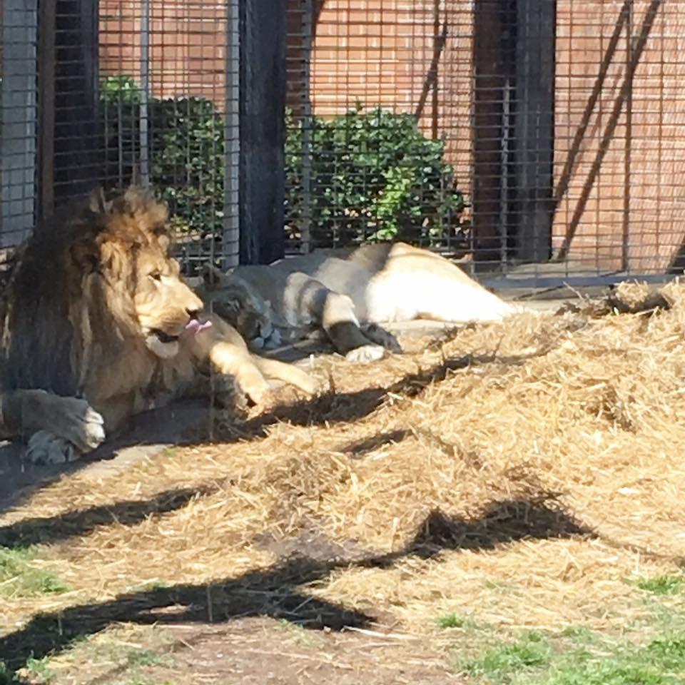 Leo Iii And Una Live Mascots University Of North Alabama Lion