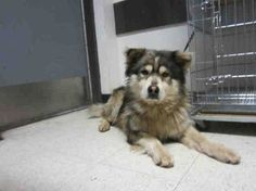 Alaskan Malamute X Chow Chow Mix 3 Want So Badly Designer Dogs