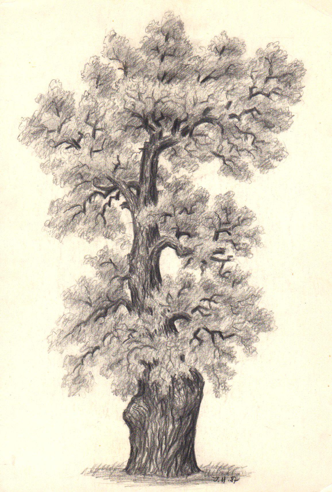 Dub Letni Quercus Robur U Vystaviste V Praze Holesovicich Kresba