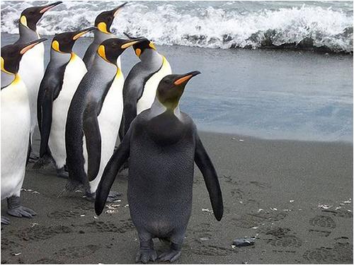 メラニズムのペンギン
