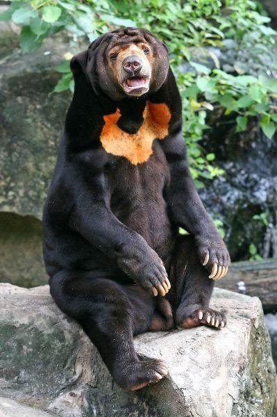Sunbear Stuffed Animal, Sun Bear Animal Facts And Information Malayan Sun Bear Bear Stuffed Animal Bear