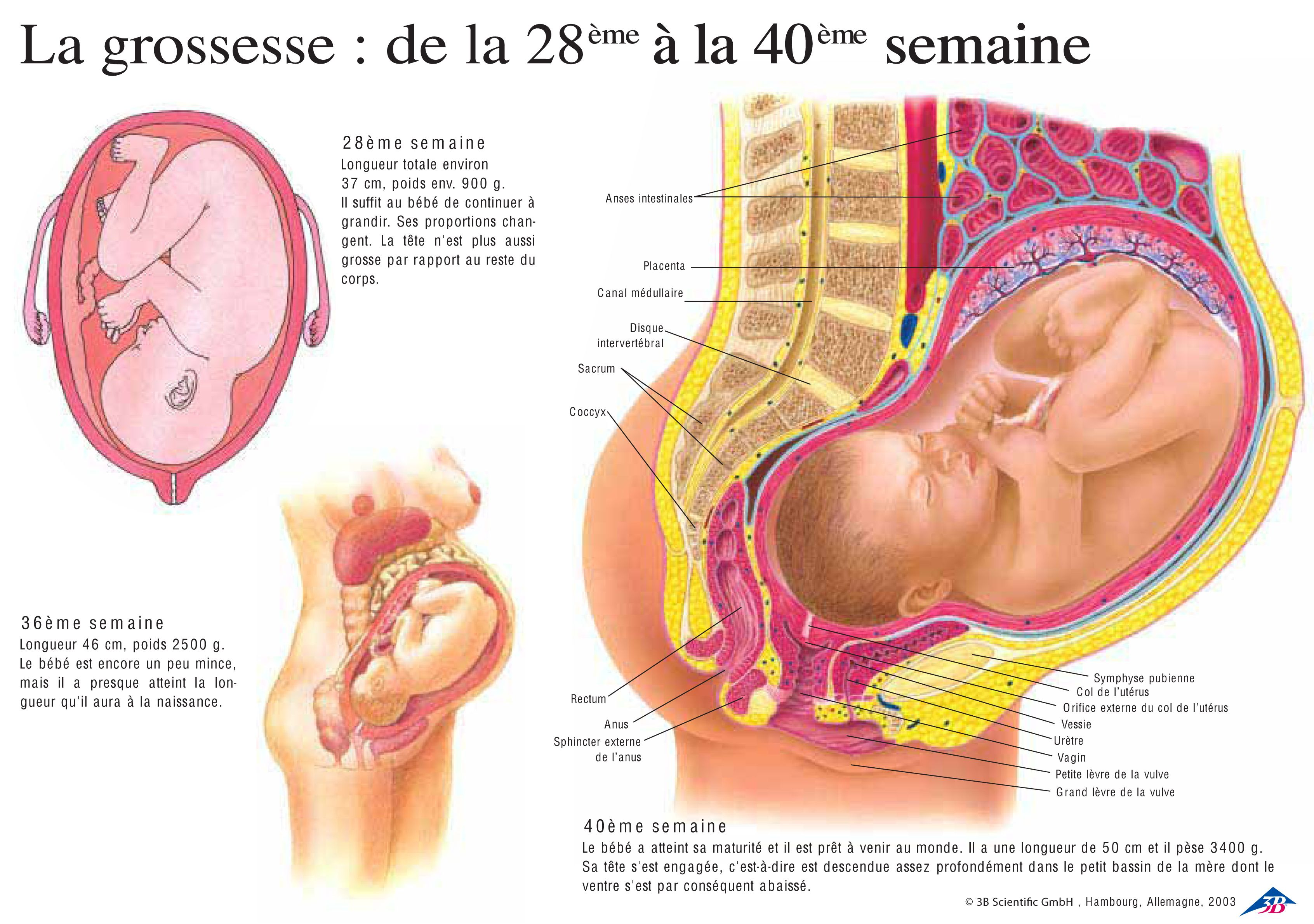 anatomie femme enceinte