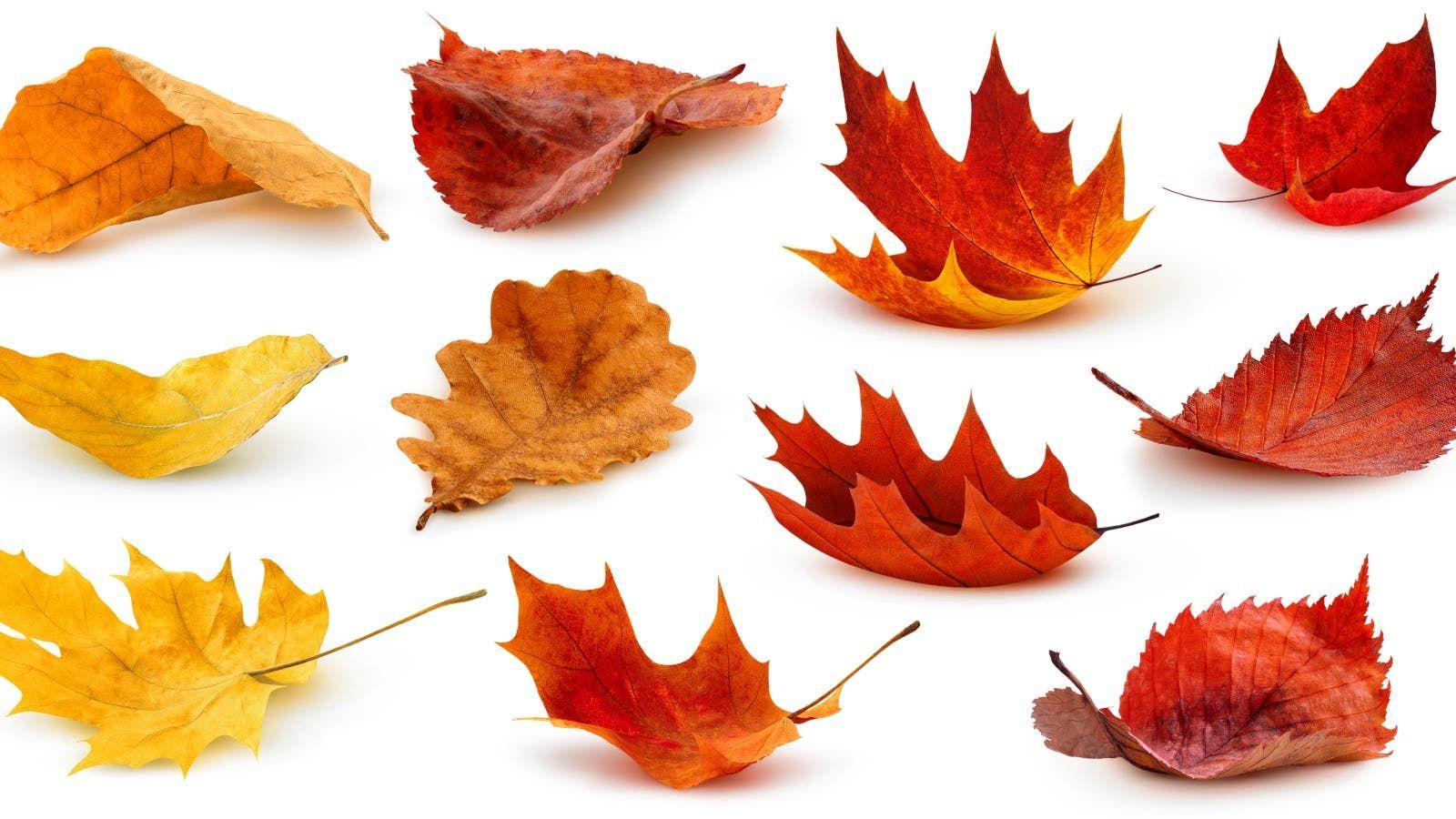 تفسير رؤية أوراق الخريف في الحلم Maple Leaf Tattoo Art Photo