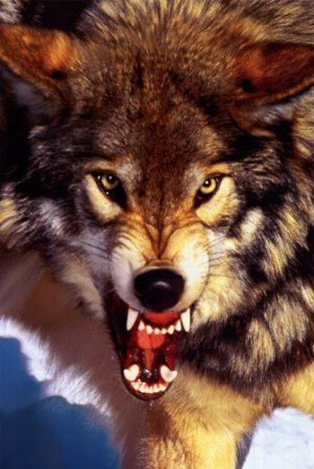 Волки | 64 фотографии | ВКонтакте