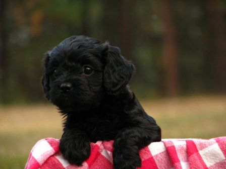 Pinewoodkennels Com Cavapoo Puppies Puppies Puppy Pictures