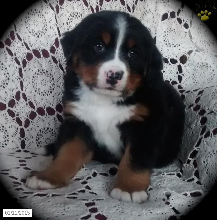 Bernese Mountain Dog Puppy For Sale In Pennsylvania Bernese Mountain Dog Bernese Mountain Dog Puppy Puppies For Sale