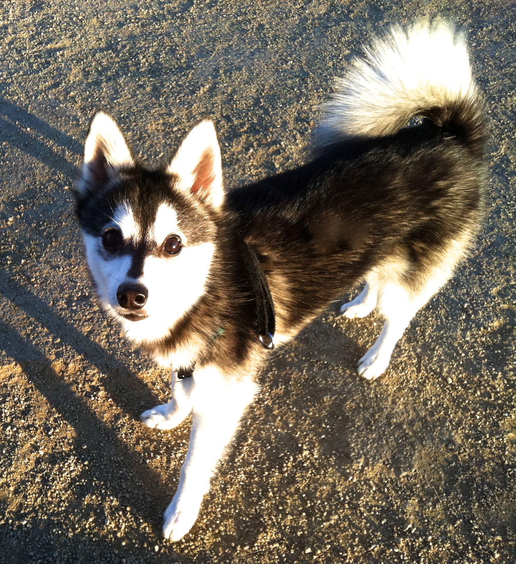 Full Grown Alaskan Klee Kai... Not A Mini Husky 39bcc57ea