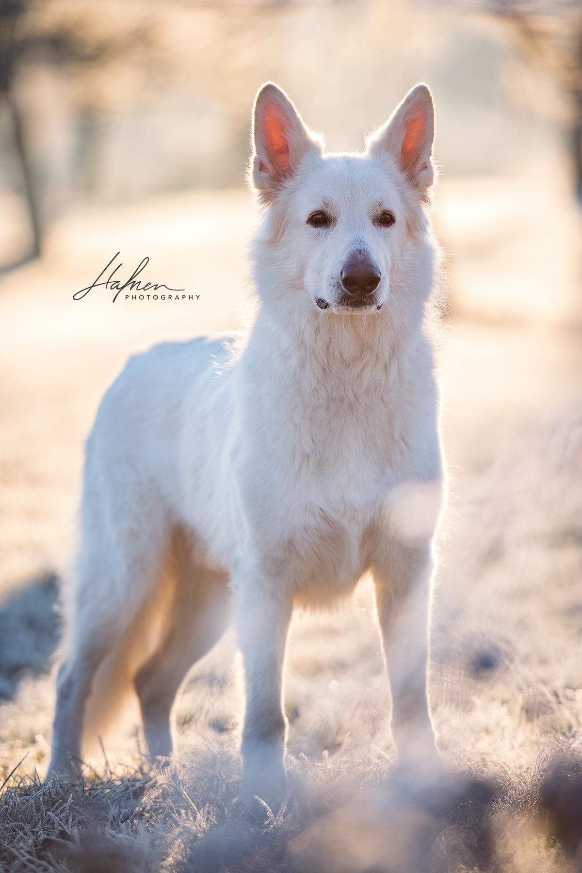 Weisser Schweizer Schaferhund Steht Im Morgenlicht Auf Eingefrorener Wiese Hund Bilder Foto Fotografie Schweizer Schaferhund Schaferhunde Hunde Fotos