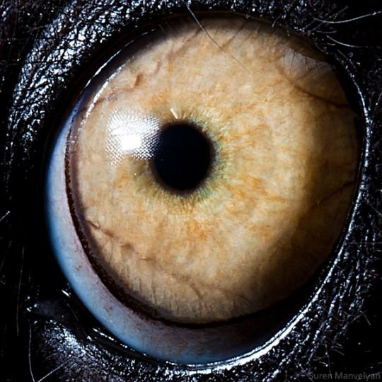 Lemur catta Animal Eyes by Suren Manvelyan
