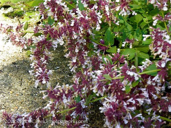Nepeta grandiflora Dawn to Dusk