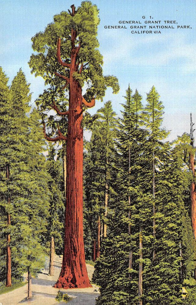 Vintage Linen Postcard General Grant Tree King S Canyon Park California Tree Art Sequoia Tree Redwood Tree