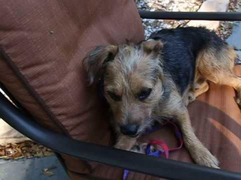 Meet Bentley A Petfinder Adoptable Border Terrier Dog In Tampa