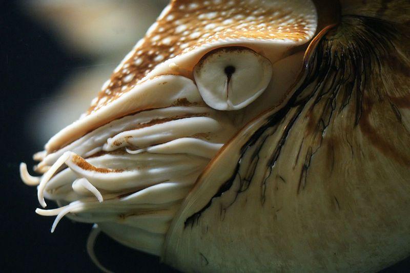 Cephalopod Chambered Nautilus Nautilus Nautilus Pompilius