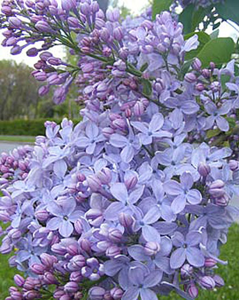Firmament Lilac Gardener S Supply Company Lilac Tree Types Of Flowers Syringa