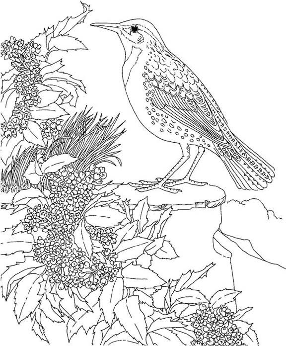 Oregon Western Meadowlark Coloring Page Purple Kitty Bird