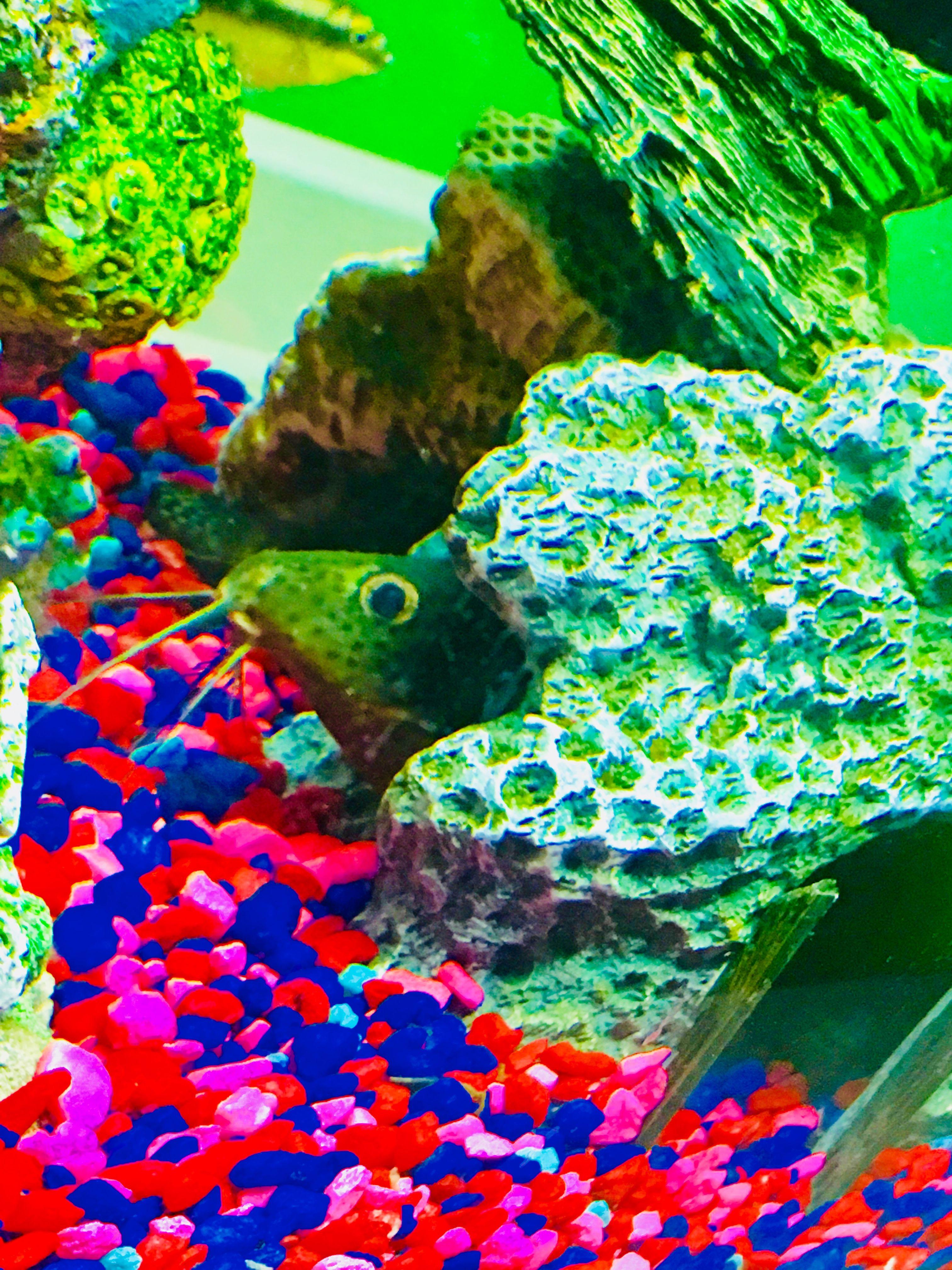 Synodontis featherfin squeaker catfish Jack Dempsey tank