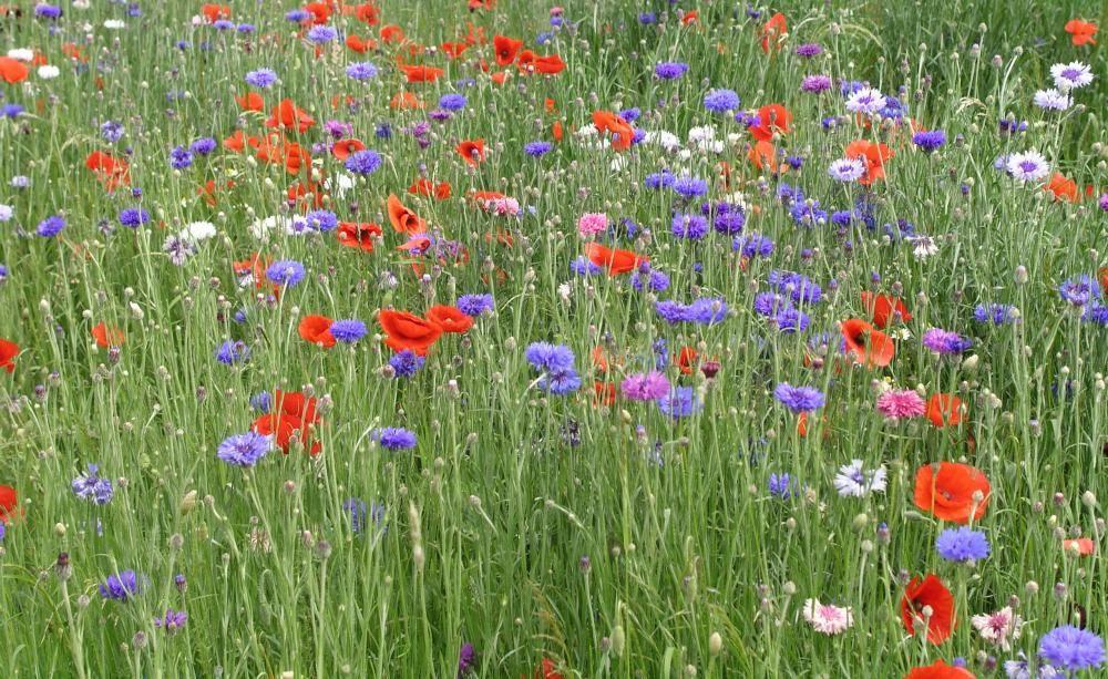 Blumenwiese Anlegen es wird bunt so legen sie eine blumenwiese an blumenwiese