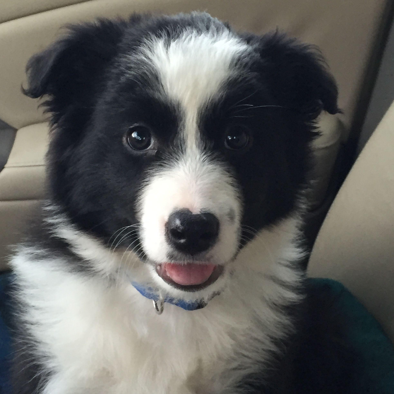 My 9 Week Old Border Collie Love Him Border Collie Collie