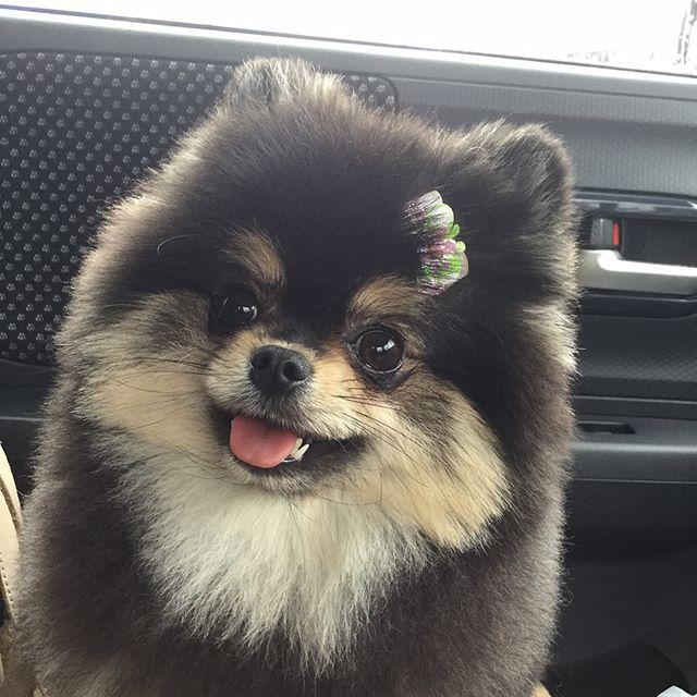 ポメ柴犬カット