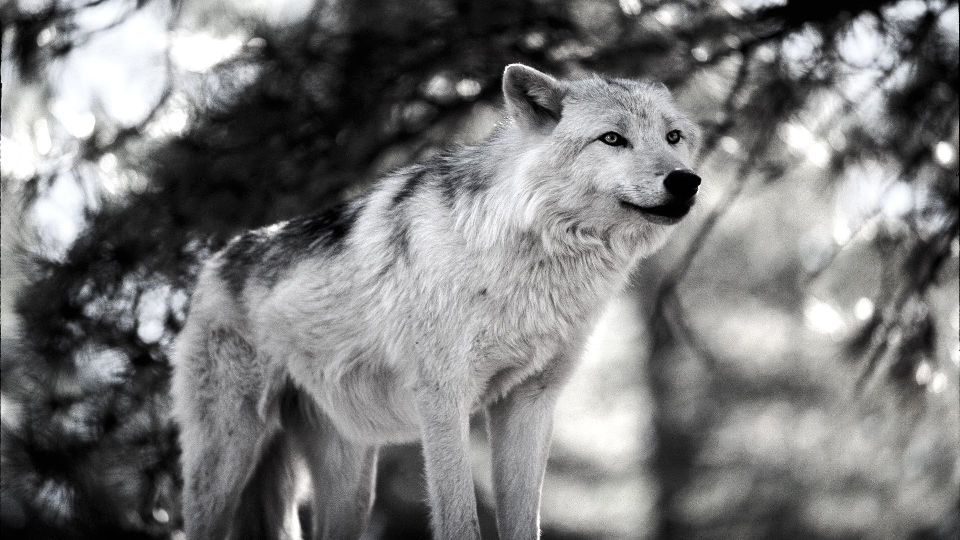 Gray Wolf Hunting By Dave Johnson HD Wide Wallpaper For Widescreen 17 Wallpapers