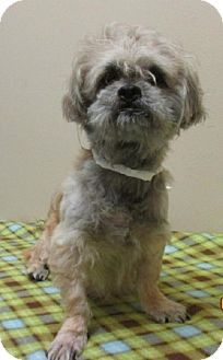 Suffolk Va Shih Tzu Meet Koby A Dog For Adoption Http Www