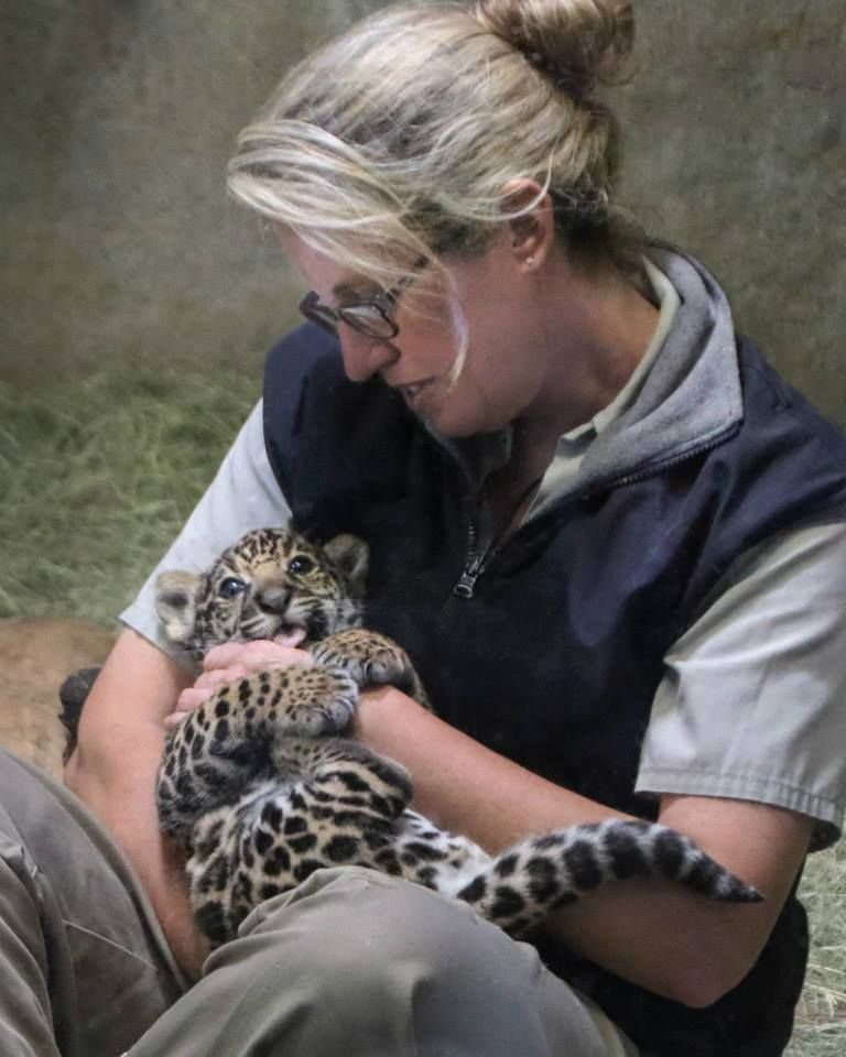 keeper nicole working with our new jaguar cub best job ever - Jobs With Animals Best Jobs Working With Animals