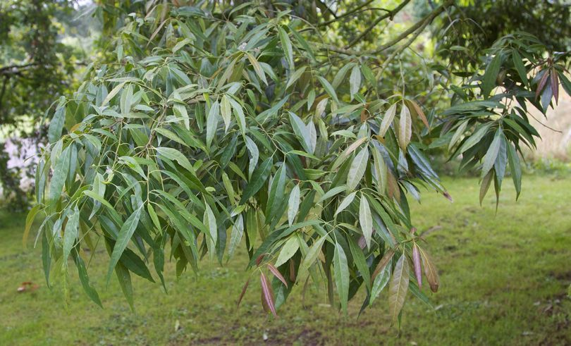 quercus myrsinifolia ch ne feuilles de bambou persistant arbres pinterest jardins. Black Bedroom Furniture Sets. Home Design Ideas