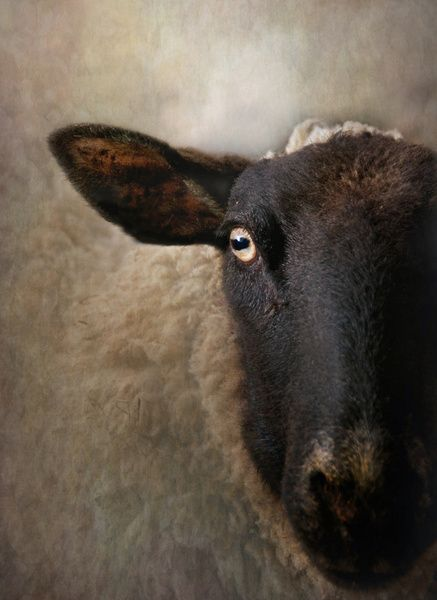 In A Sheep S Eye Art Print Pattedyr Dyr Malerier