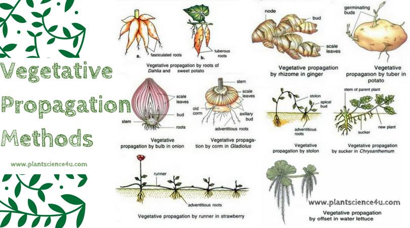 Vegetative Propagation Methods Plant Science 4 U Pinterest