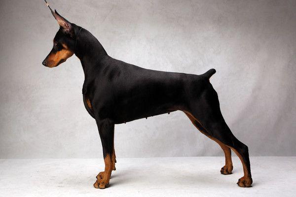 Westminster S Best Of Breed Westminster Dog Show Doberman