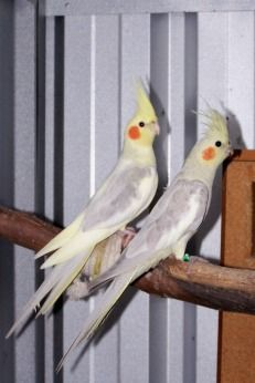 Here Are Some Of My Breeding Pairs Some Juvenile Birds I Have Bred Bird Breeds Pet Birds Cockatiel