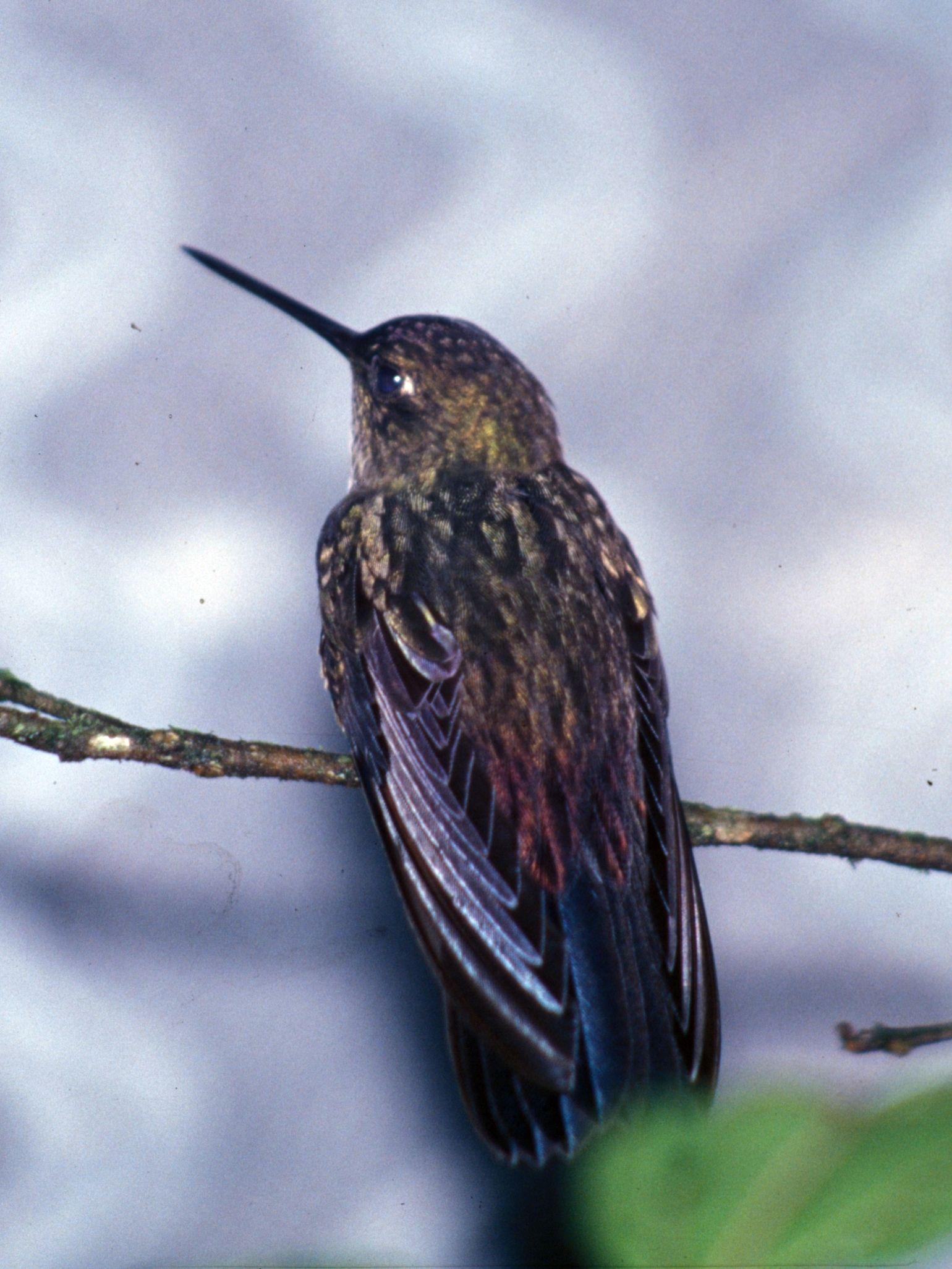 Do Hummingbirds Sing