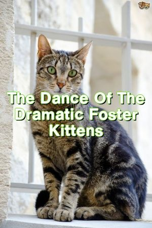 Michelle Ogden Tells About The Dance Of The Dramatic Foster Kittens   #catbreeders  #kitty  #catoftheday  #gatos  #Adult  #Choose  #Cats  #Guide