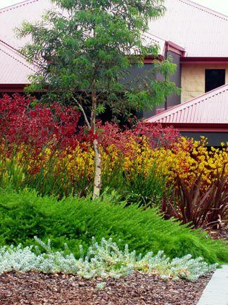 Mass planting of kangaroo paws | Australian garden design ...