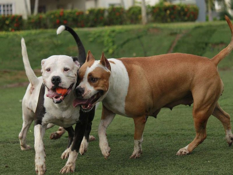 American Bully Vs Pitbull Terrier Know The Difference About The