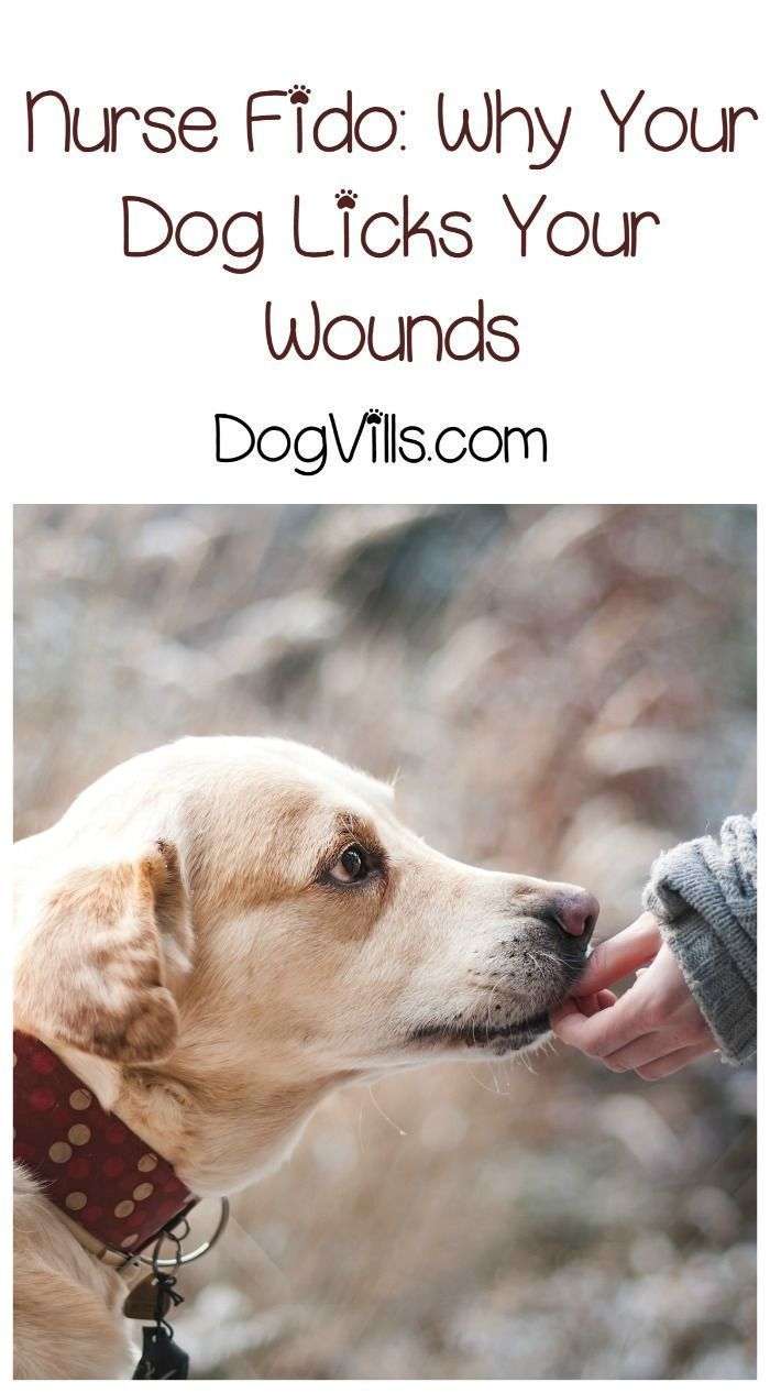 Nurse Fido: Why Do Dogs Lick Our Wounds