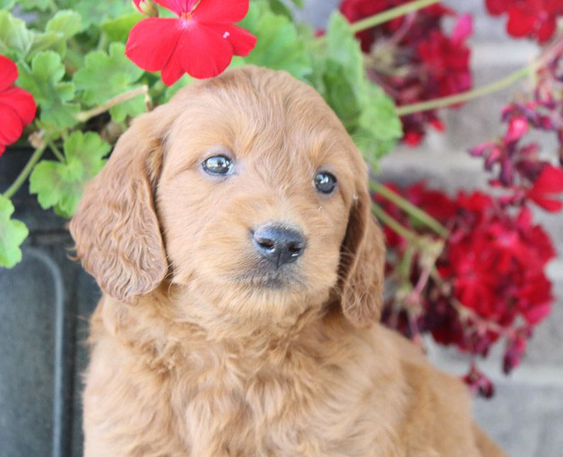 Jordan Mini Goldendoodle Dogs Near Fort Wayne Indiana For Sale Goldendoodle Goldendoodle Mini Goldendoodle Goldendoodle Puppy