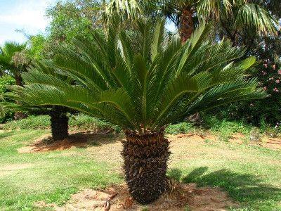 Palmier Nain Avec Images Plante Verte Interieur Plante