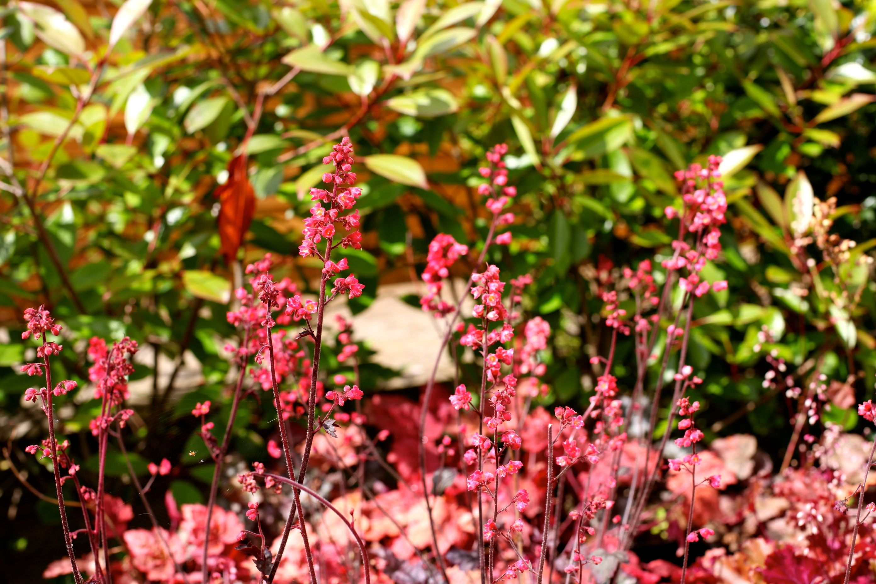 Heuchera 'Hollywood' Dense spikes of coralred blooms