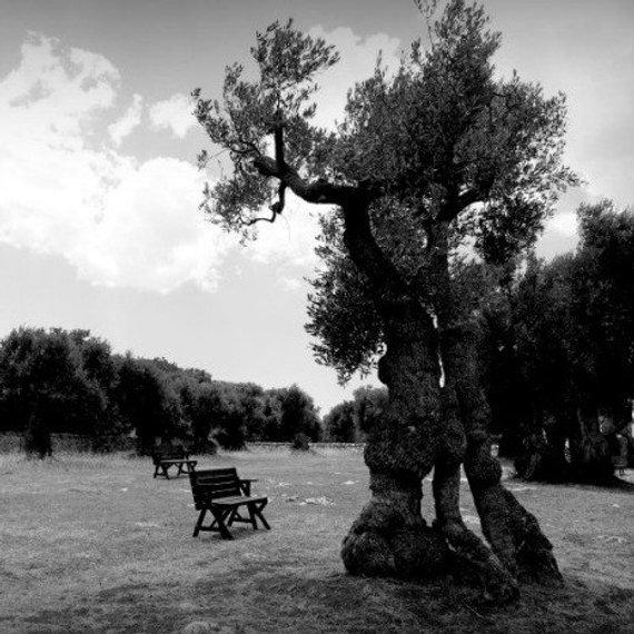 Italian Scenery Black And White Olive Tree Grove Print