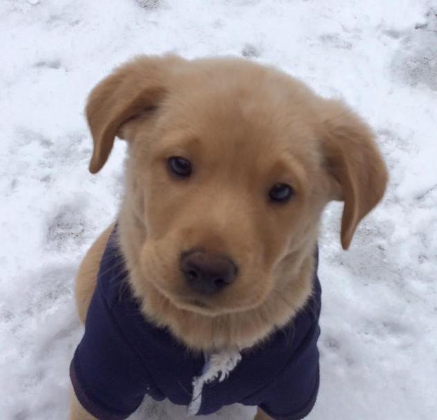 Adopt Thursday on Dogs, Dog cat, Labrador retriever
