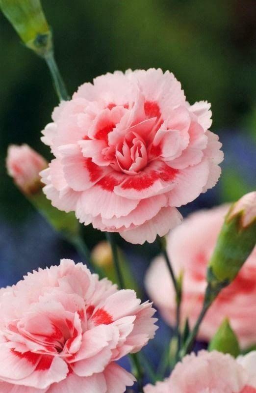 Flowers Gardens Pink Carnation Doris Carnation Flower Beautiful Flowers Flowers