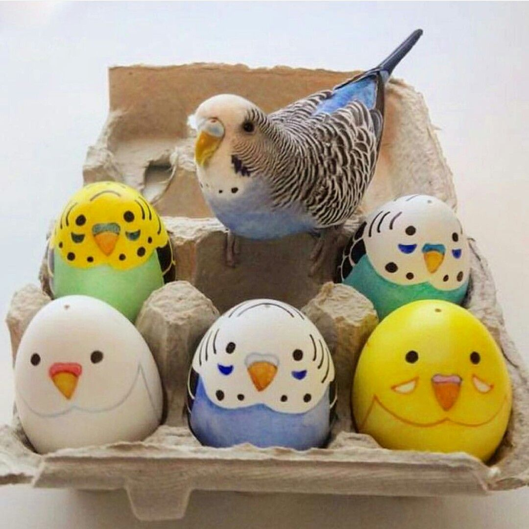Pin by hazel pettipher on budgies pinterest budgies egg budgies great ideas easter kids egg as food parakeets eggs forumfinder Gallery