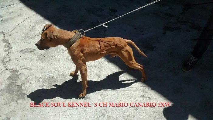 ONLINE PEDIGREES :: [465694] :: BLACK SOUL KENNEL´S CH MARIO CANARIO