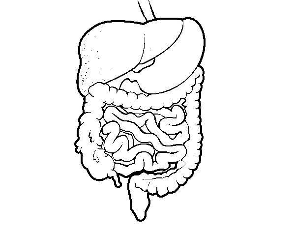 Dibujo de Sistema digestivo para Colorear  Dibujosnet