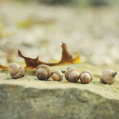 Acorns Symbol Of Good Luck Survival Growth And