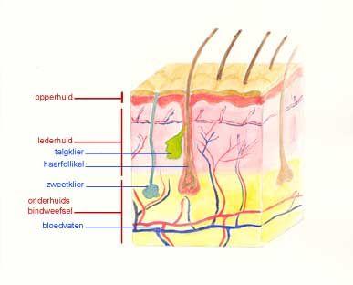 De anatomie van de huid en waaruit bestaat de huid. En niet te ...