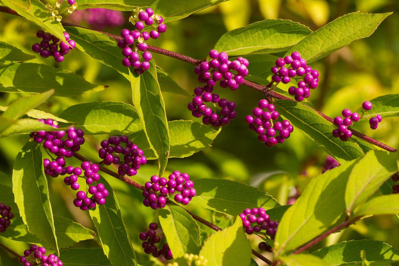 LiebesperlenstrauchAmerican beautyberry Pflanzen