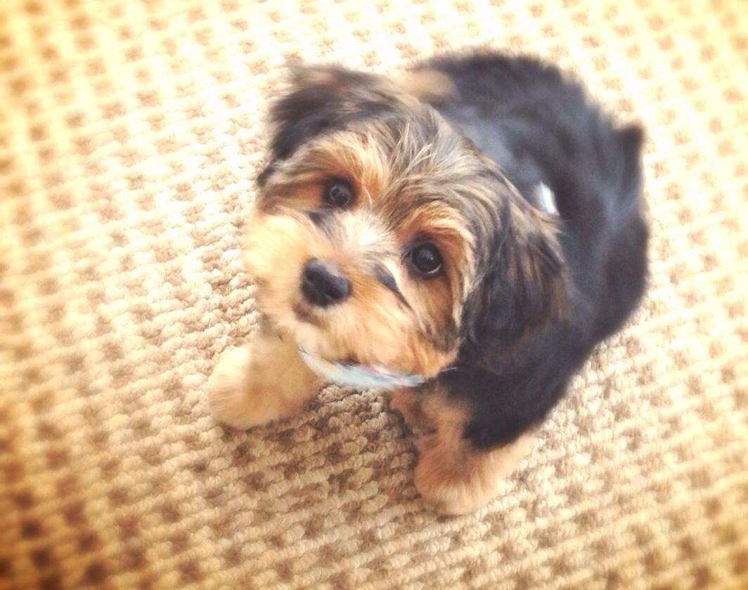 First Haircut Morkie Puppies Crazy Dog Lady Yorkie Poo